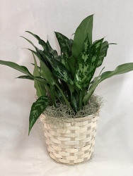 Aglaonema Maria Plant -A local Pittsburgh florist for flowers in Pittsburgh. PA