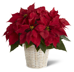 Red Poinsettia Basket