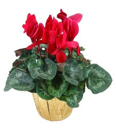 Cyclamen plant  -A local Pittsburgh florist for flowers in Pittsburgh. PA
