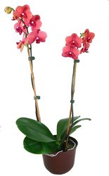 Phalaenopsis orchid plant  -A local Pittsburgh florist for flowers in Pittsburgh. PA