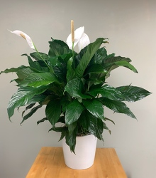 Peace Lily in Ceramic Pot -A local Pittsburgh florist for flowers in Pittsburgh. PA