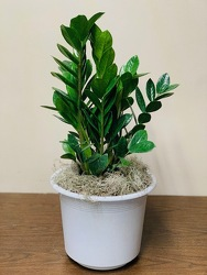 Zamioculcas Zamiifolia Plant -A local Pittsburgh florist for flowers in Pittsburgh. PA