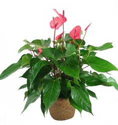 Anthurium plant -A local Pittsburgh florist for flowers in Pittsburgh. PA
