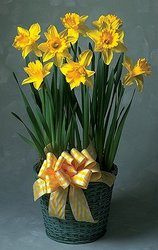 Daffodil plant with bow -A local Pittsburgh florist for flowers in Pittsburgh. PA