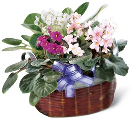 African Violets -A local Pittsburgh florist for flowers in Pittsburgh. PA