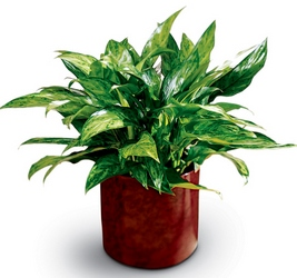 Chinese Evergreen -A local Pittsburgh florist for flowers in Pittsburgh. PA