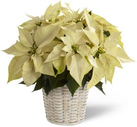 White Poinsettia Basket -A local Pittsburgh florist for flowers in Pittsburgh. PA
