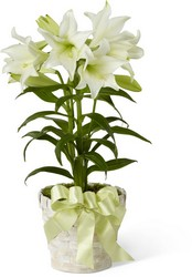 Easter Lily Plant -A local Pittsburgh florist for flowers in Pittsburgh. PA