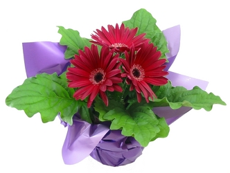 Gerbera daisy  -A local Pittsburgh florist for flowers in Pittsburgh. PA
