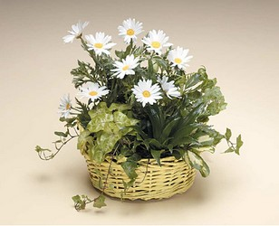 Dish Garden with White Daisies -A local Pittsburgh florist for flowers in Pittsburgh. PA