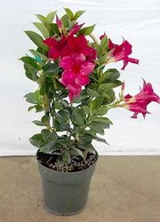 Mandevilla in a basket pot cover -A local Pittsburgh florist for flowers in Pittsburgh. PA
