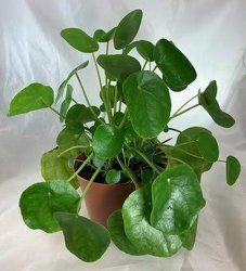 Pilea Peperomioides -A local Pittsburgh florist for flowers in Pittsburgh. PA