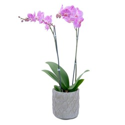 Purple Beauty Orchid Plant -A local Pittsburgh florist for flowers in Pittsburgh. PA