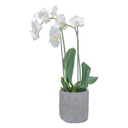 White Elegance Orchid Plant -A local Pittsburgh florist for flowers in Pittsburgh. PA