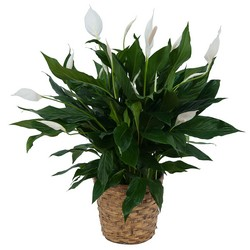 Peace Lily Plant in Basket -A local Pittsburgh florist for flowers in Pittsburgh. PA
