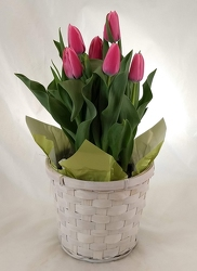Tulip plant in basket pot cover -A local Pittsburgh florist for flowers in Pittsburgh. PA